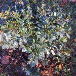 Plant treated with winter deer repellent