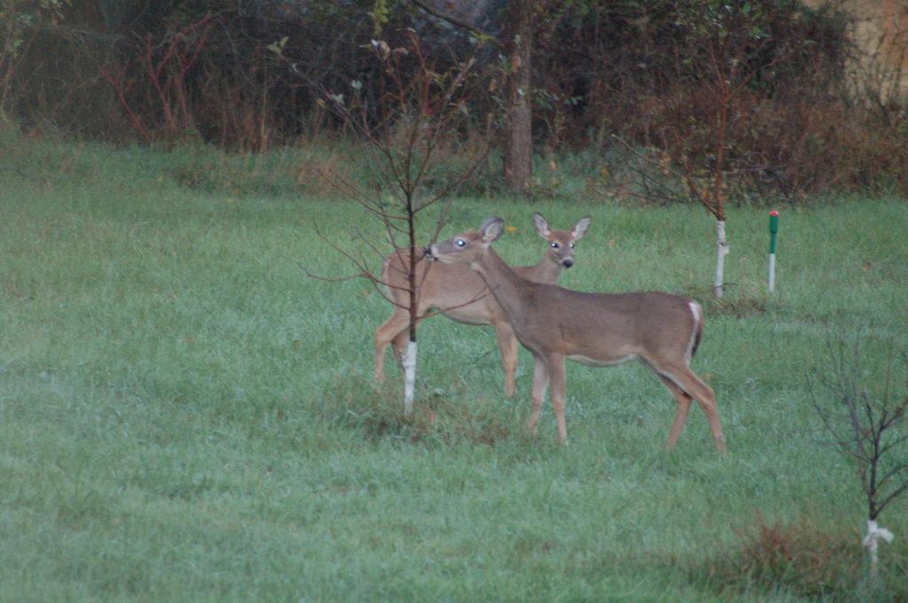 Deer munching on a tree