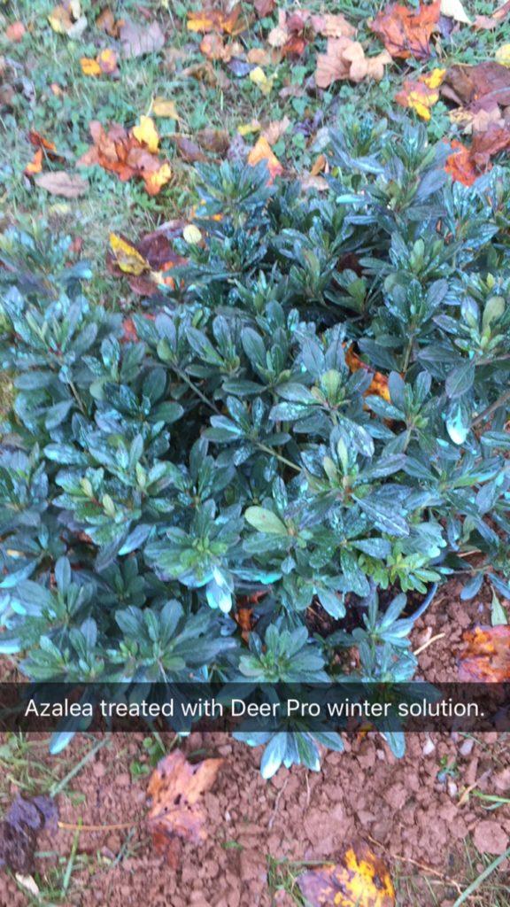 Azalea treated with deer repellent