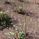 Untreated plants are damaged by deer