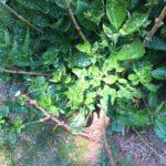 Plant that has been sprayed with deer repellent