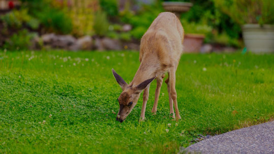 deer repellent can prevent deer damage to your lawn
