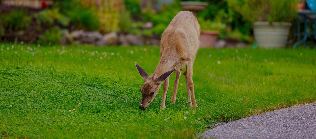 deer repellent can prevent deer damage to your lawn