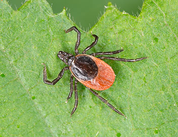 Picture of a tick or pest that could cause lyme disease. NoVa Deer Shield's Organic Tick Spray could help get rid of ticks