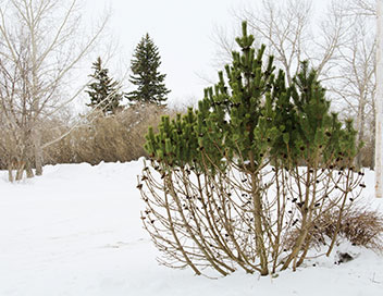 Picture of shrub that has been half sprayed with deer spray to prevent deer damage