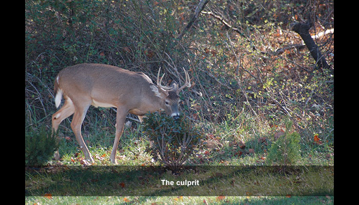 Prevent deer damage in Northern Virginia