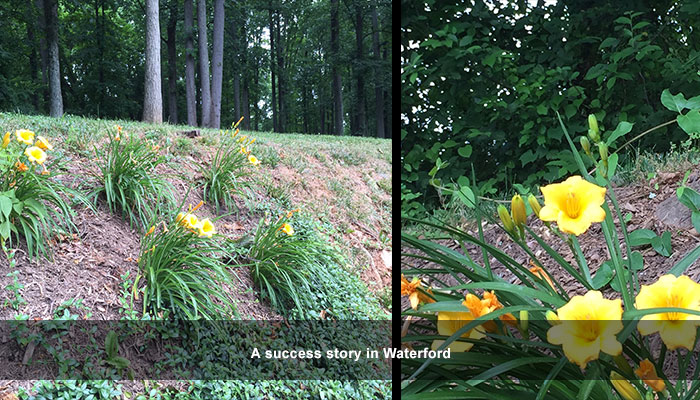 Our deer repellent lets daylilies bloom!