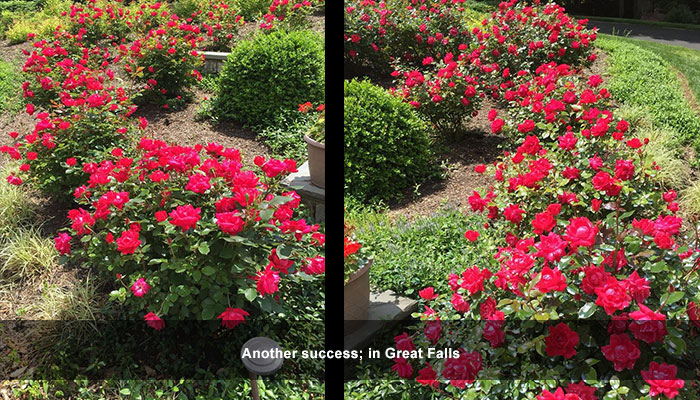 Our deer repellent lets roses bloom!