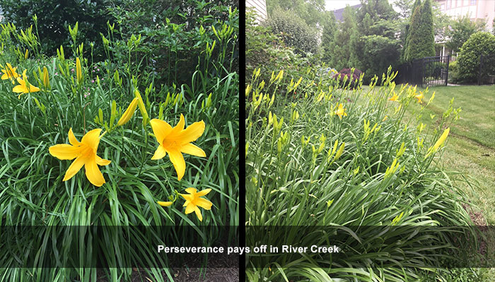 These daylillies in Rover Creek in Loudoun country were treated with deer repellent.