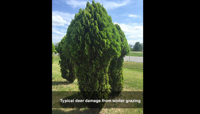 Deer damage like this can be prevented with deer repellent spray