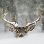 Even when it snows, our deer repellent works!
