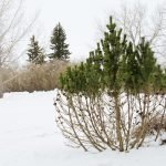 Our winter deer repellent service prevents damage to plants