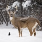 Winter Deer Repellent Service