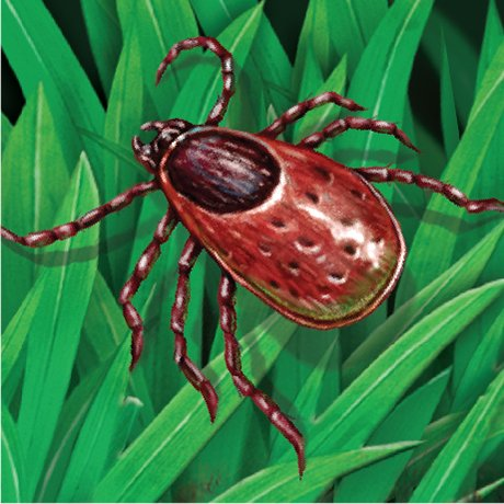 Picture of a tick and a yard that needs organic tick spray