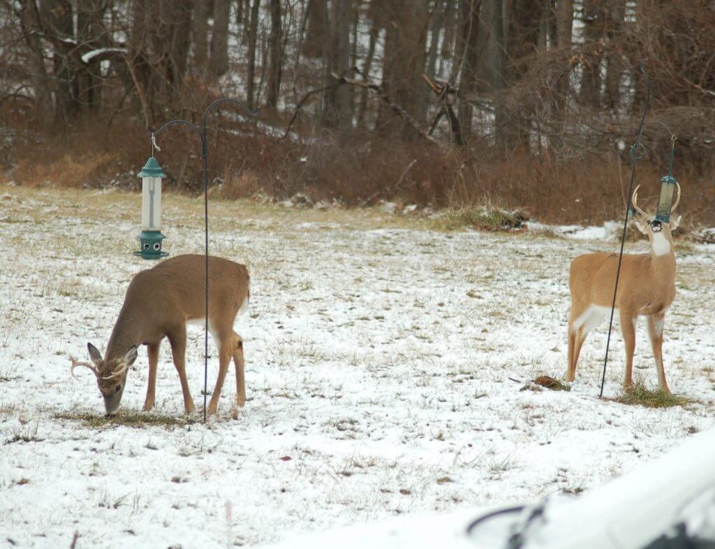 Deer eating from bird feeder in yard causing deer damage