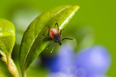 Tick on plant that needs tick spray service