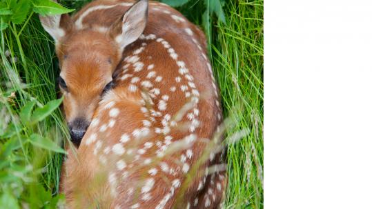 Deer-Damage-Fawn-Loundoun-County-Virginia